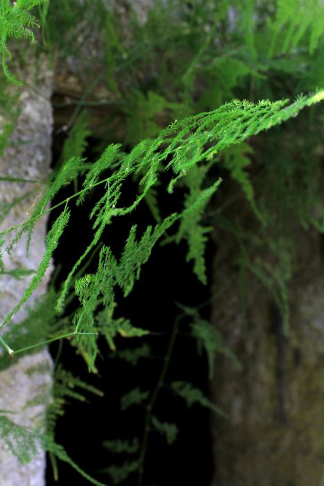 decorazione_asparagus_plumosus