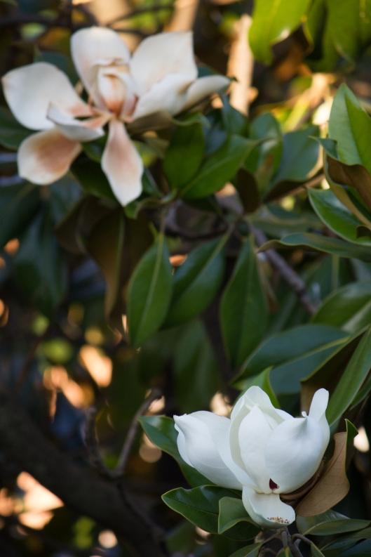 fiori_magnolia_2