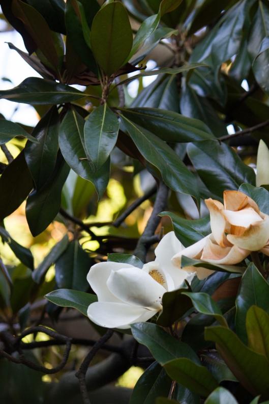 fiori_magnolia_3